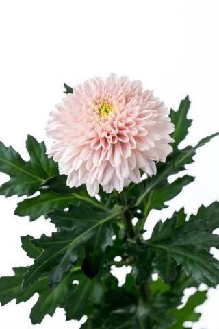ピンポン菊(丸菊)