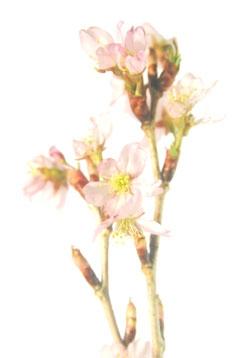 切り枝 桜